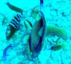 suba fish