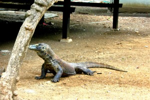 Alert Komodo Dragon