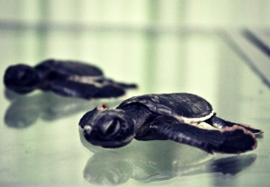 Green Turtle baby