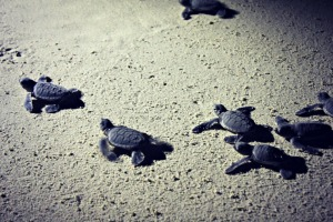 Green Turtle Babies