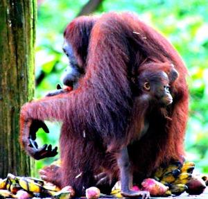 Orang-utans Borneo