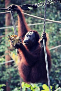 Orang-utan Borneo