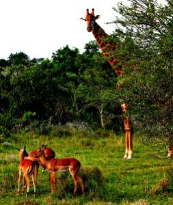 Giraffe Schotia