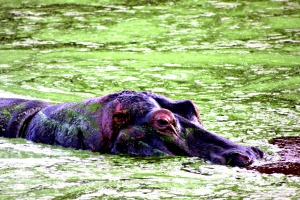 Hippo South Africa