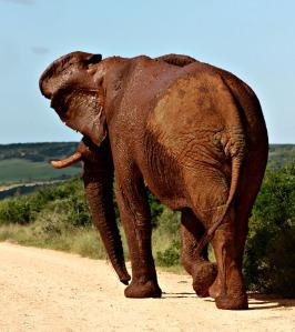 Bull elephant Addo