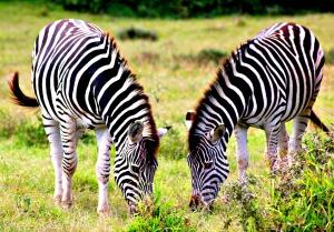 Zebra Schotia